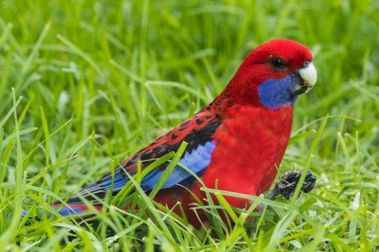 Crimson Squawker